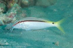 BD-131212-Marsa-Alam-1341-Parupeneus-forsskali-(Fourmanoir---Guézé.-1976)-[Red-Sea-goatfish].jpg